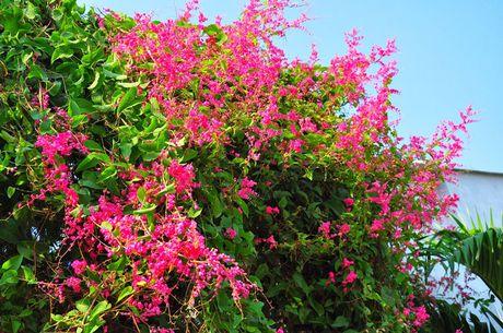 Ky thuat trong va cham soc hoa tigon de hoa no quanh nam - Anh 2