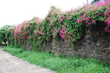 Ky thuat trong va cham soc hoa tigon de hoa no quanh nam - Anh 3