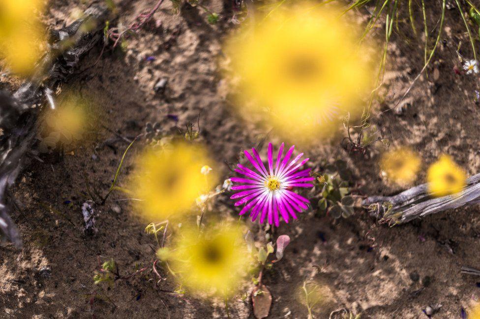 Ngẩn ngơ trước cảnh biển hoa phủ kín hoang mạc ở Nam Phi Ảnh 9