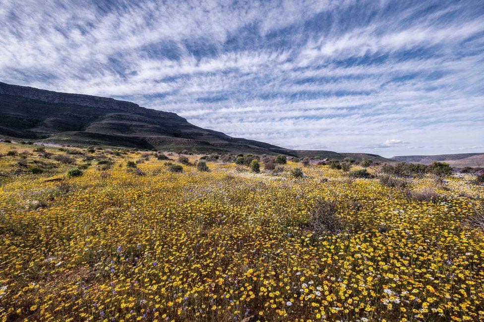 Ngẩn ngơ trước cảnh biển hoa phủ kín hoang mạc ở Nam Phi Ảnh 5