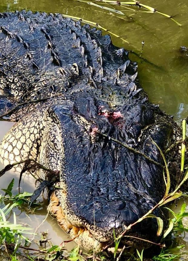 Cụ bà bắn chết cá sấu dài 3,6 mét vì dám ăn trộm thú cưng của gia đình Ảnh 3