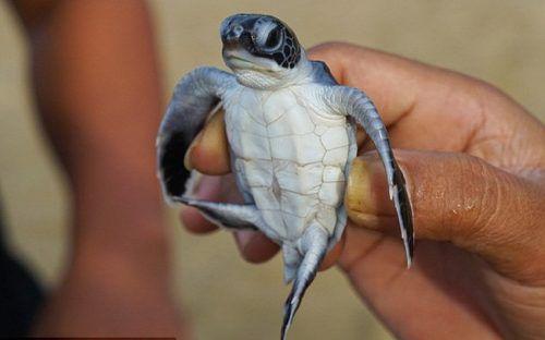 Hơn 40% rùa biển non đang bị giết chết bởi rác thải nhựa Ảnh 1