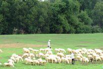 Chăn cừu trên vùng đất đỏ
