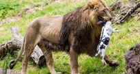 Chi cục Thú y TP. HCM lên tiếng trước tin bịa đặt về việc 'đề nghị Thảo Cầm Viên mua lại chó hoang làm mồi cho sư tử'