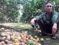 Bất lực nhìn cả nghìn quả cam Vinh rụng lả tả, thối nhũn vì mưa lũ