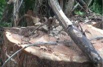 Thêm sáu đối tượng bị bắt trong vụ cưa trộm cây thủy tùng 500 tuổi