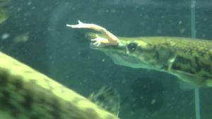 Cá sấu hỏa tiễn là gì mà phàm ăn, hung dữ đáng sợ?