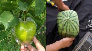 Cách 'biến hóa' trái cây thành những hình thù độc đáo