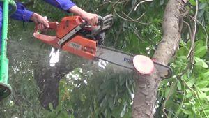 Hà Nội chặt hạ gần 1.300 cây xanh trên đường Phạm Văn Đồng