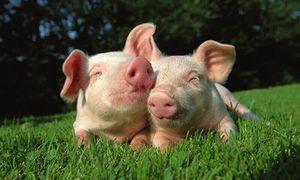 Doanh nhân Randy Spronk: 'Tiềm năng tiêu thụ thịt lợn ở TQ khá lớn'