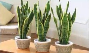Loại cây giúp lọc độc tố, đuổi vận xui, hút tài lộc nên trồng