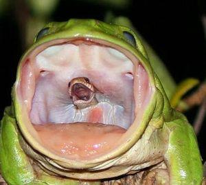 Hình ảnh ghê rợn khi rắn chui ra từ cổ họng ếch