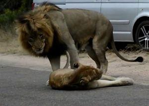 Đoàn xe dừng bánh chờ đôi sư tử giao phối giữa đường