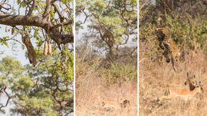 Báo đói phi từ cành cây cao 13 mét xuống đất vồ chết linh dương