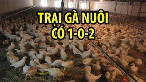 Trại gà Pháp có một không hai: Nuôi gà để sản xuất vắc xin cúm