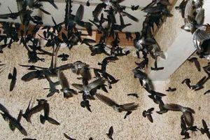 Chim yến bay rợp trời ở khu đô thị đại gia TP HCM