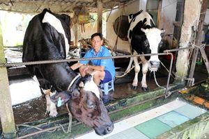 Đầu ra sữa bò ổn định, người nuôi bò khấm khá