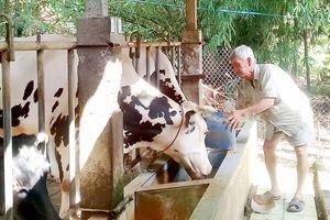 Hợp tác nuôi bò sữa làm giàu