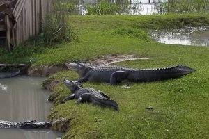 Người dân Mỹ lo sợ hàng trăm con cá sấu có thể xổng chuồng vì lũ