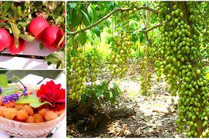 Phát thèm khu vườn quả sai trĩu cành của đại gia Việt