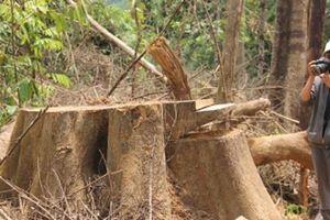 Quảng Nam: Tan nát rừng phòng hộ Sông Kôn
