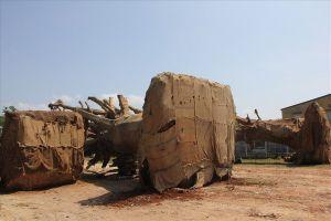 Vụ 3 cây cổ thụ 'khủng' bị thu giữ: Đã xác định được nguồn gốc 1 cây