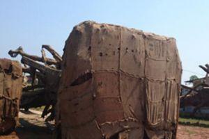 Điểm đến của 3 cây 'quái thú' bị tạm giữ tại TT-Huế vẫn là bí ẩn