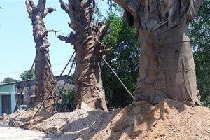 Truy trách nhiệm chở cây 'quái thú': Cây đã mọc lá non
