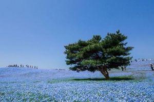 Thiên đường hoa mắt xanh nở rộ ở công viên Nhật Bản