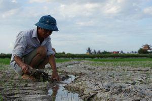 Đồng ruộng xứ Thanh nứt toác vì 'khát nước', nhiều diện tích lúa chết khô
