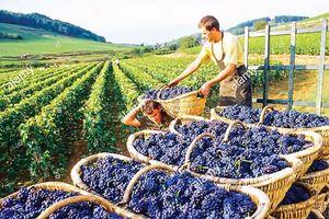 Pháp tịch thu vườn nho gian lận thuế