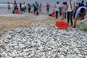 Hà Tĩnh: Ngư dân trúng mẻ lớn cá mạu ven bờ biển