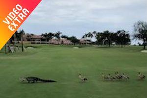 Đàn vịt gây chú ý vì đuổi cá sấu chạy khắp sân golf