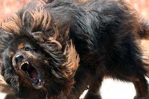 Chó ngao cắn chết người ở Hà Nội: Nguyên nhân chó nhà nổi điên cắn chết chủ