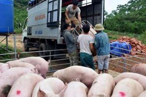 Giá heo hơi hôm nay 21/7: Người nuôi vẫn lãi đậm, chăn nuôi cuối năm sẽ ra sao?