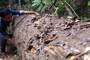 Rừng dổi bị tàn phá, lâm tặc bỏ gỗ tẩu thoát khi bị phát hiện