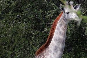 Tanzania: Phát hiện hươu cao cổ màu trắng rất hiếm
