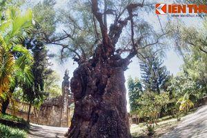 Chiêm ngưỡng cây phi lao cổ thụ khổng lồ nhất VN