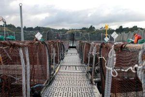 Ngư dân Chile cố thu hồi số cá hồi vừa thoát khỏi trang trại có thể gây hại cho môi trường