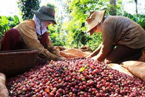 Giá cà phê sẽ tiếp tục giảm từ nay tới cuối năm