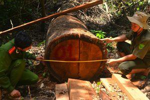 Để mất rừng, hàng loạt lãnh đạo doanh nghiệp bị khởi tố, bắt giam