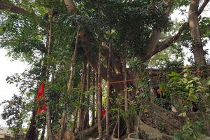 Hải Phòng: Vinh danh cây di sản Việt Nam