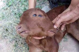 Bê đột biến với 2 khuôn mặt, 2 tai, 2 miệng