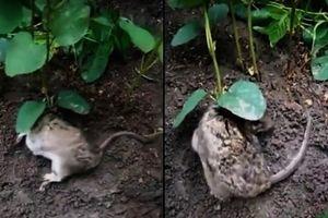 Kỳ lạ cây đậu nành mọc trên lưng chuột sống