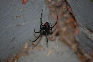 Loài nhện kịch độc 'Góa phụ đen' đang di cư dần sang Bắc Mỹ 
