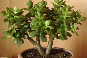 5 loài cây phong thủy hút tài lộc cho gia chủ giàu sang suốt đời