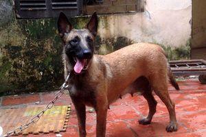 Quản lý chặt chó Malinois cắn chết người