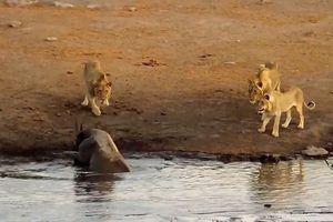 Kết cục bất ngờ sau trận đánh hội đồng của 3 sư tử với tê giác