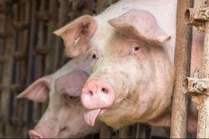 Dịch tả lợn ở Trung Quốc có thể tác động đến cuộc chiến thương mại Mỹ – Trung