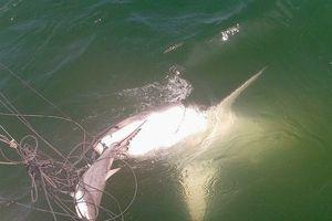 Chuyện ít biết về nghề 'săn' cá mập ở biển Phú Quốc